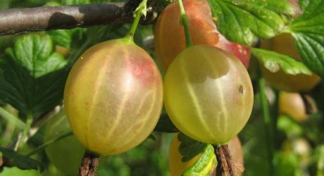 Gooseberries-at-Minaki.JPG